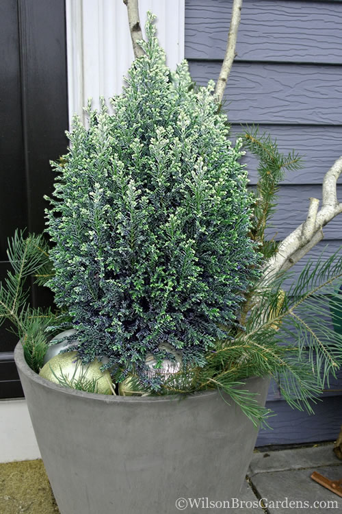 Snow White Dwarf Lawson's Cypress - Chamaecyparis lawsoniana - 2 Gallon Pot