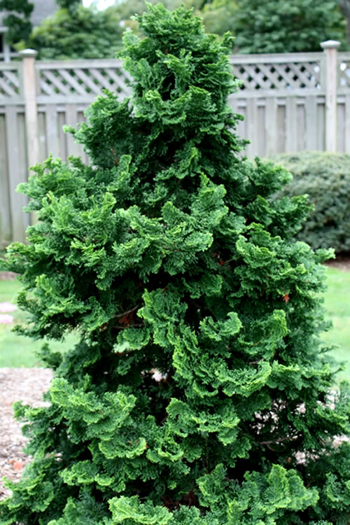 Buy Tempelhof Hinoki Cypress For Sale Online From Wilson