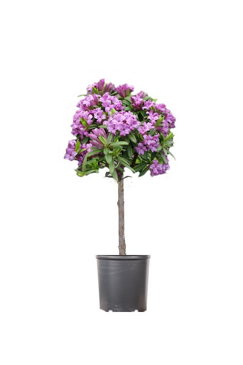 Buy Lawrence Crocker Lavender Daphne Tree Wilson Bros Gardens