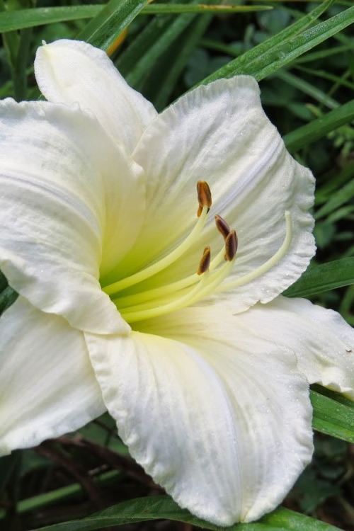 Buy Joan Senior Daylily For Sale Online From Wilson Bros