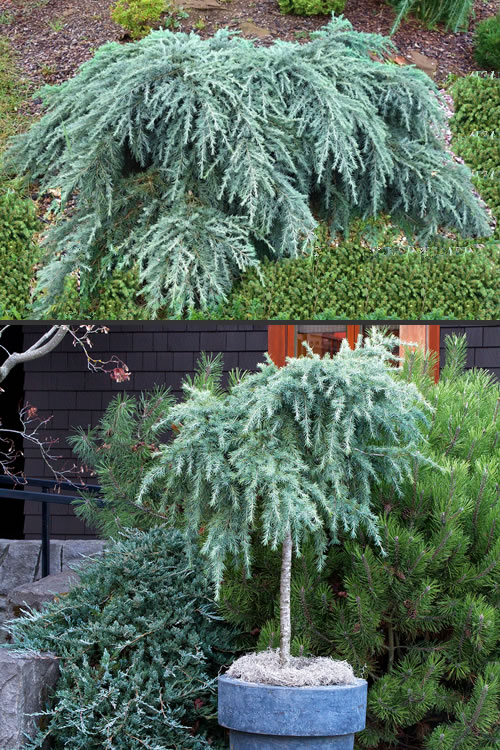 Buy Feelin Blue Weeping Deodar Cedar Tree Free Shipping