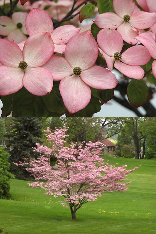 Buy pink chinese dogwood cornus kousa satomi trees for sale online pink chinese dogwood cornus kousa satomi mightylinksfo
