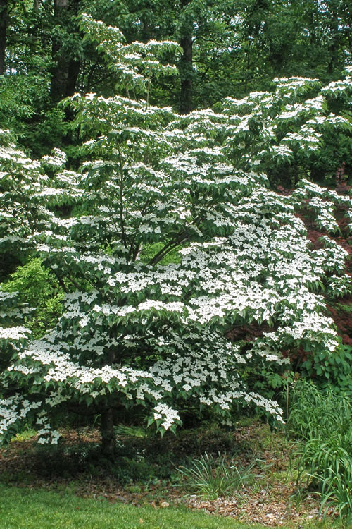 The Dependable Cornus Kousa Often Called Chinese Dogwood Anese Or Has Demonstrated Excellent Resistance To Both
