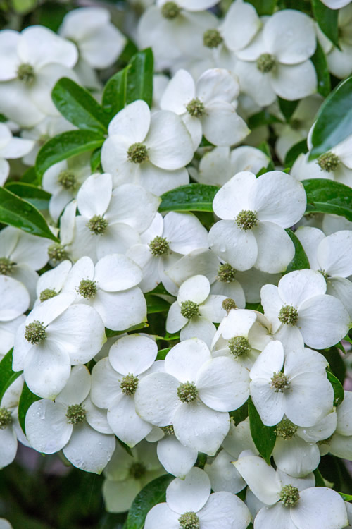 Buy empress of china dogwood tree best prices from wilson bros empress of china is a hardy evergreen chinese dogwood with a graceful yet vigorous growth rate and loads of flowers up to 150 flowers per branch mightylinksfo