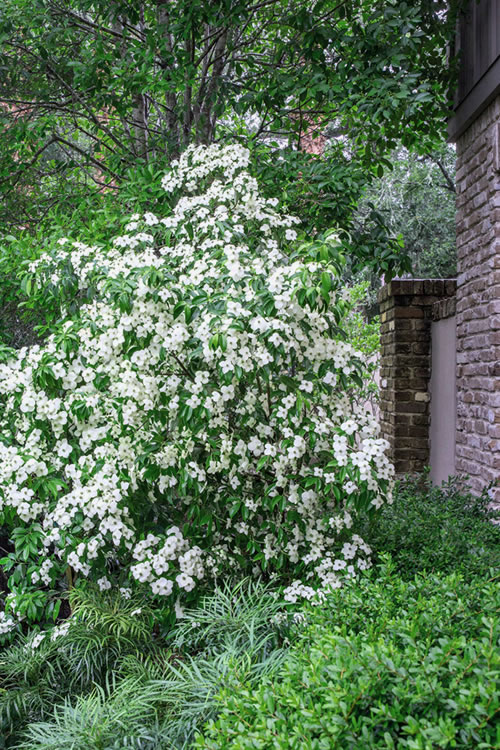 Buy Empress Of China Dogwood Tree Best Prices From Wilson Bros