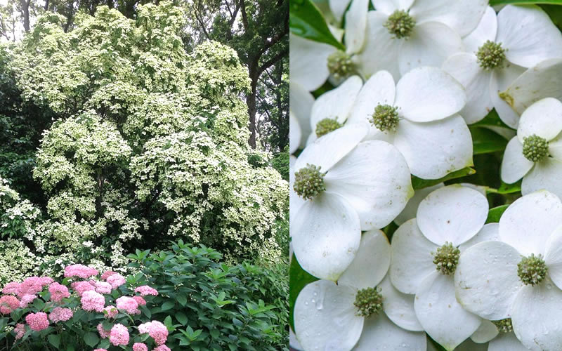 Buy empress of china dogwood tree for sale online from wilson bros add to wish list sciox Image collections