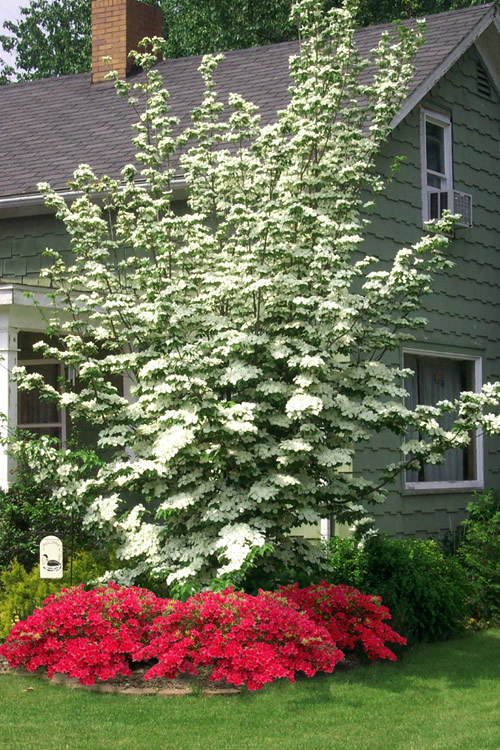 Hybrid White Dogwood - 3 Gallon Pot