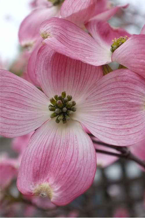 Pink Dogwood Tree - cornus florida - 2 Gallon Pot