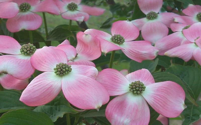 Stellar Pink Dogwood Tap To Expand