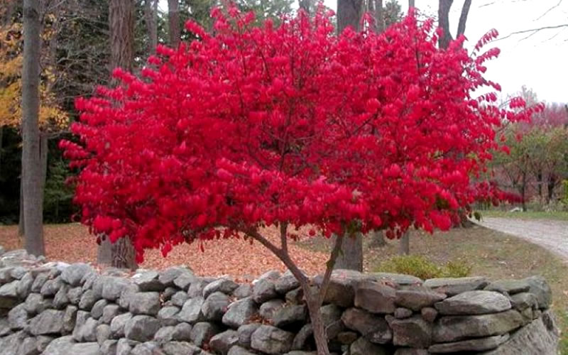 Buy Dwarf Burning Bush 1 Gallon Free Shipping For Sale