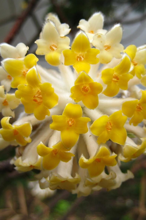 Edgeworthia chrysantha - Paper Bush - 1 Gallon Pot