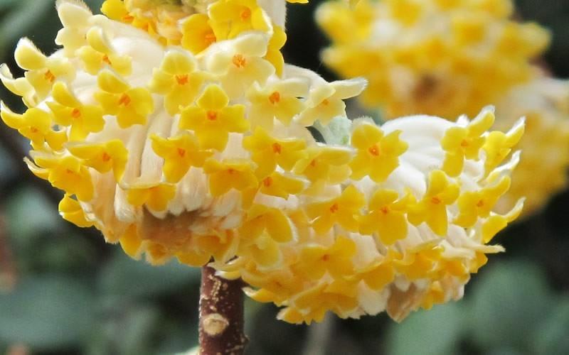 Buy Edgeworthia Chrysantha Paper Bush Free Shipping