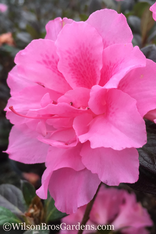 Autumn Carnation Encore Azalea Produces An Abundance Of Large 2 5 Inch Diameter Eye Catching Vibrant Pink Blooms In Spring Summer And Fall That Nearly