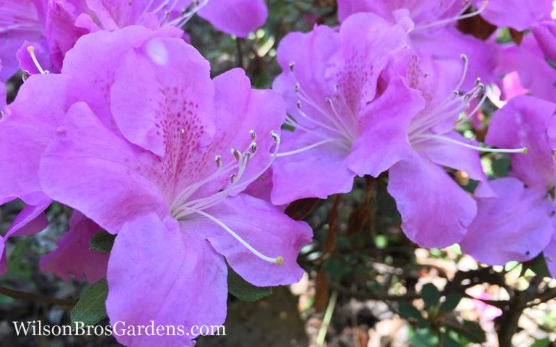 Buy Autumn Lilac Encore Azalea Free Shipping 1 Gallon