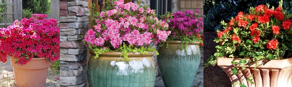 How To Plant An Encore Azalea In The Ground Or Containers Wilson Bros Gardens
