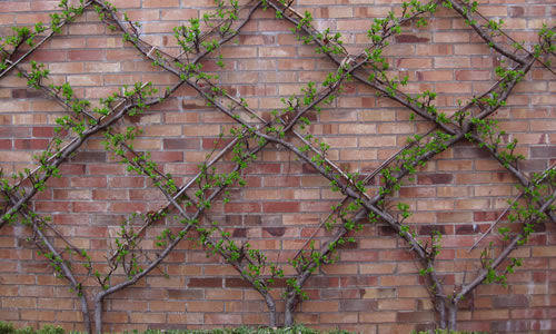 How to Espalier Plants and Trees