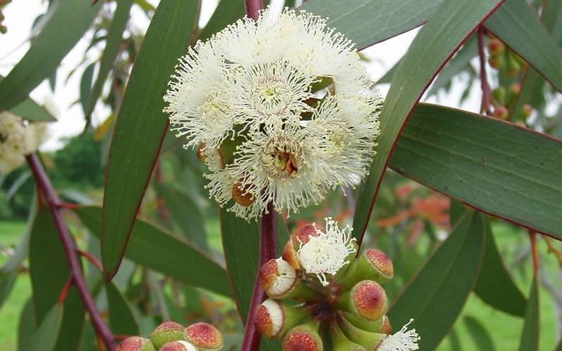 Buy bonza hardy eucalyptus pauciflora snow gum tree for sale online add mightylinksfo