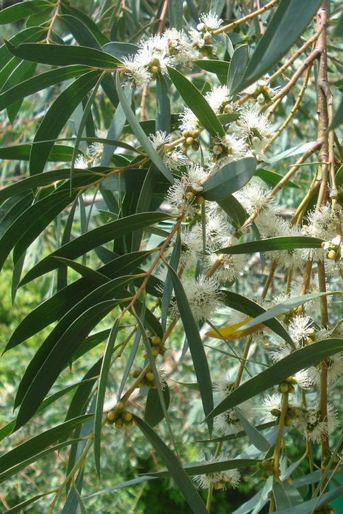 Funky Monkey Cold Hardy Eucalyptus Tree Parvula 4