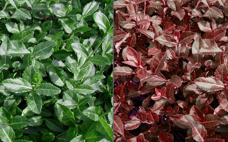 buy purple wintercreeper plants - free shipping