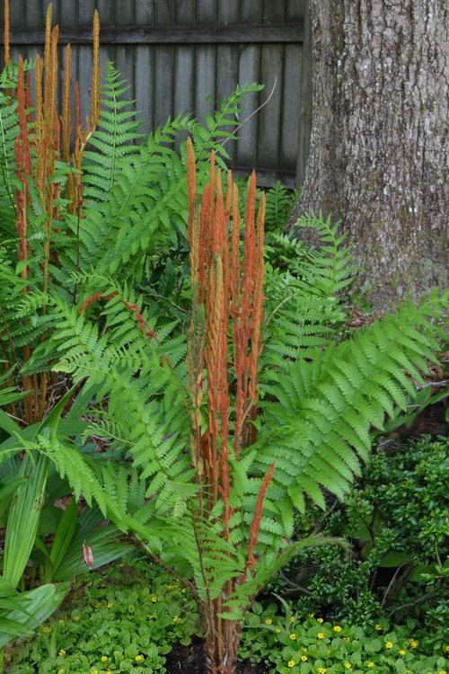 3 Cinnamon Fern ~wild Native~WOODLAND GARDEN