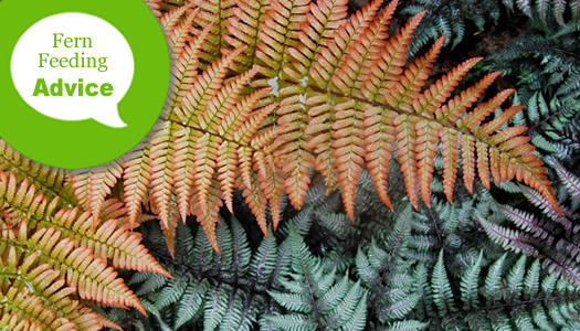 When And How To Fertilize And Water Perennial Ferns