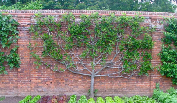 You Have Many Formal Shapes In Which Can Grow The Fig Tree As Espalier Candelabrum Double U Shape Fan But A Simple Stack Of Three Horizontal
