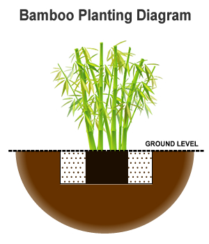 how to plant bamboo in the landscape garden from the experts at rh wilsonbrosgardens com Bamboo Plant Drawings Bamboo Plant Structure Diagram