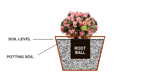 How to plant an encore azalea in the ground or containers wilson step 4 ccuart Images