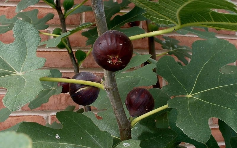 Chicago Cold Hardy Fig Tree Free Shipping For Online From Wilson Bros Gardens