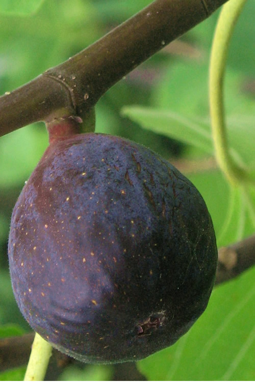 LSU Purple Fig Tree - 1 Gallon Pot