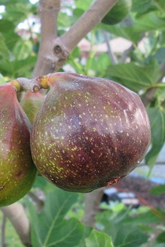 Olympian Cold Hardy Fig Tree  - 1 Gallon Pot