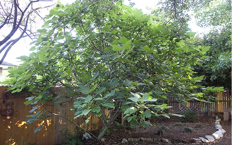 Buy Texas Everbearing Fig Tree Free Shipping 1 Gallon