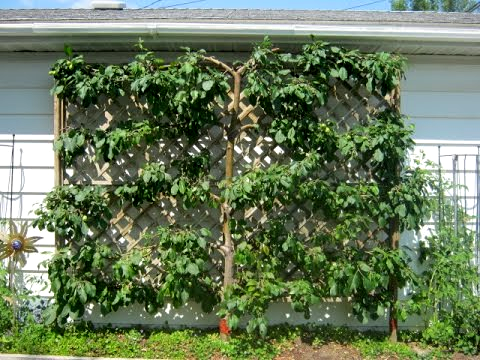 How To Espalier Plants Trees From The Experts At Wilson Bros Gardens