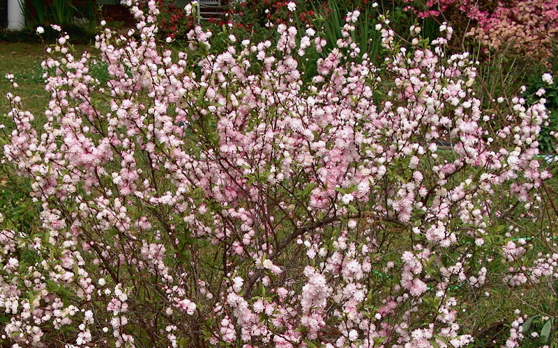 Buy pink dwarf flowering almond shrubs for sale online from wilson pink dwarf flowering almond hover to zoom mightylinksfo Images
