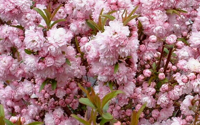 Buy Pink Dwarf Flowering Almond Free Shipping Prunus