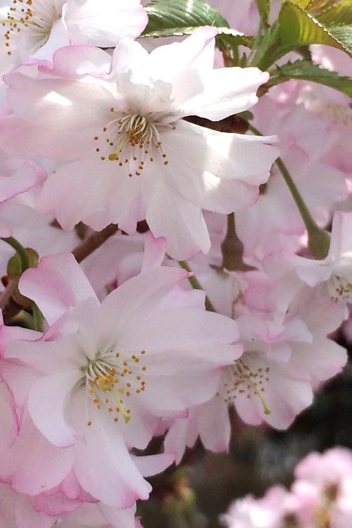 Autumnalis Fall Blooming Cherry Tree 5 Gallon Pot