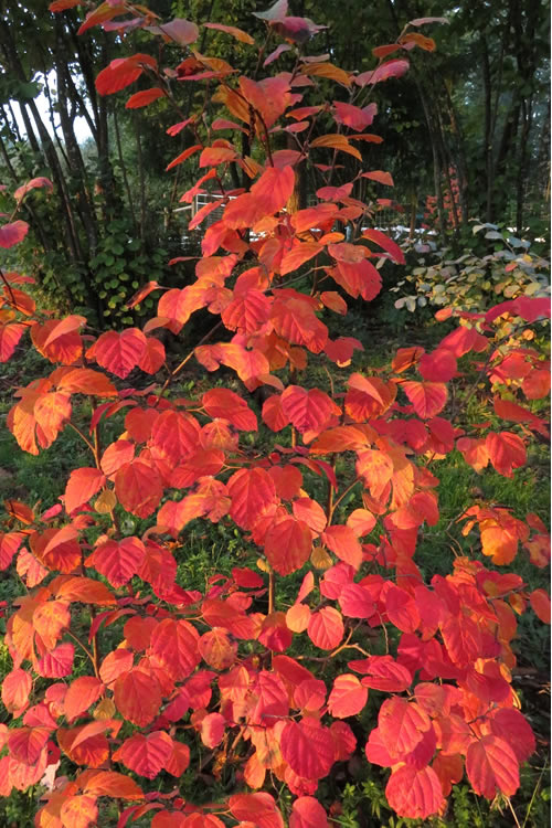 buy mount airy fothergilla plants - free shipping
