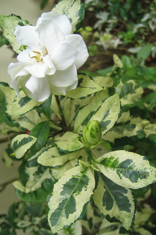 The Large, Glossy, Variegated Cream White Leaves Edged In Dark Green Are  Truly Striking On What Has To Be The Most Unique Gardenia Variety Weu0027ve  Grown.