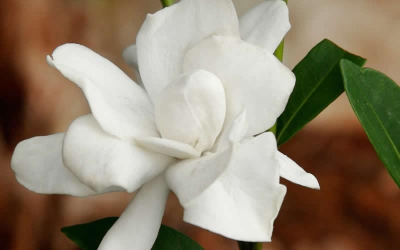 Buy Jubilation Gardenia Bushes Free Shipping 3 Gallon