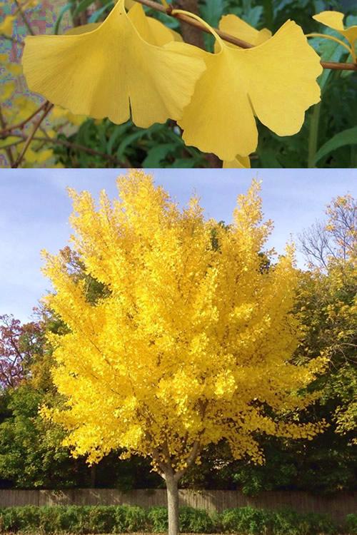 Buy ginkgo tree for sale online from wilson bros gardens ginkgo tree ginkgo biloba altavistaventures Choice Image
