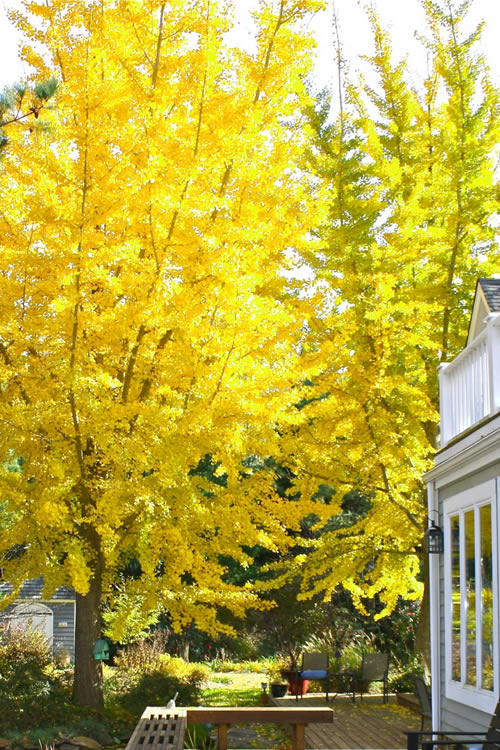 Buy Ginkgo Tree For Sale Online From Wilson Bros Gardens