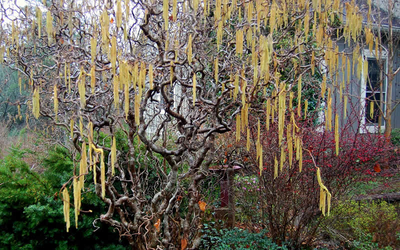 Buy Corylus Contorted Filbert Henry Or Harry Lauder