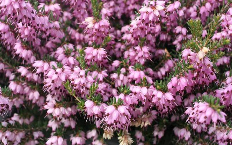 Buy mediterranean pink winter heath erica darleyensis plants for add to wish list mightylinksfo