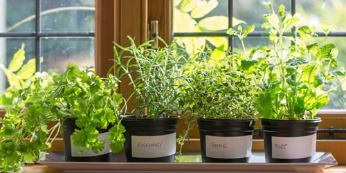 How To Grow Herbs Indoors Inside The Home