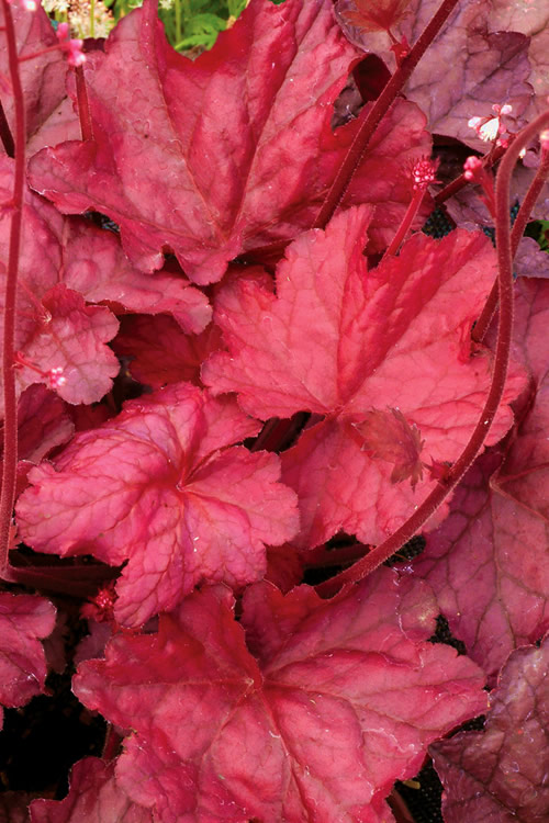 Buy Fire Chief Heuchera Coral Bells For Sale Online Free