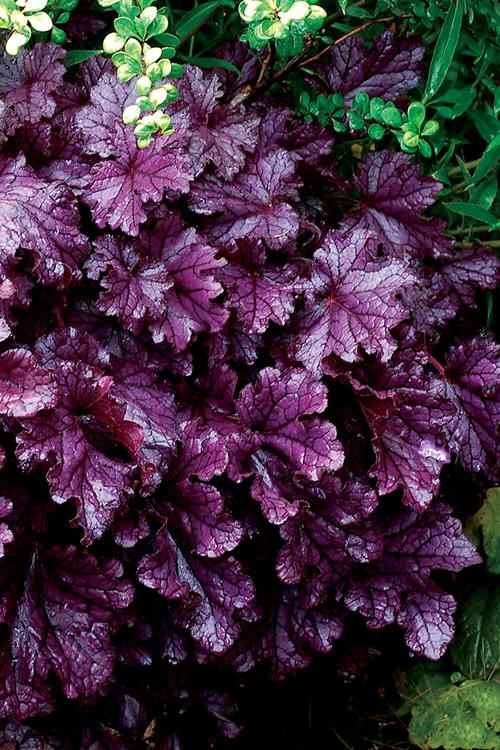 Buy Forever Purple Heuchera Plants Free Shipping 10 Count