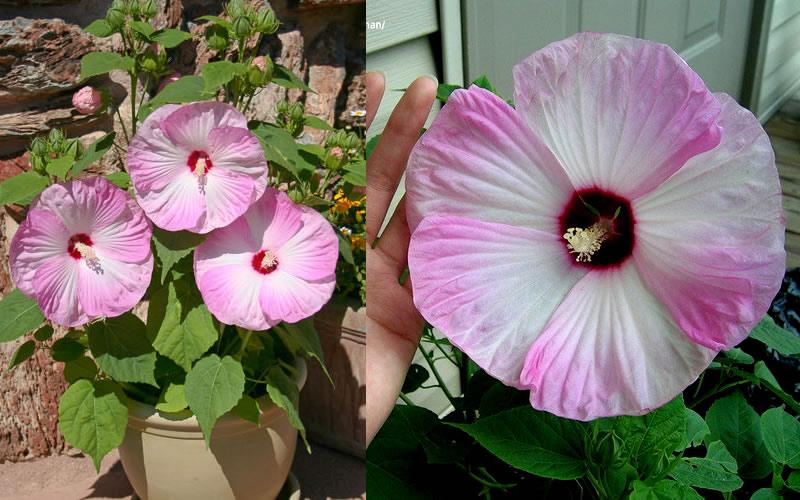 Buy Luna Pink Swirl Hibiscus For Sale Online From Wilson Bros Gardens