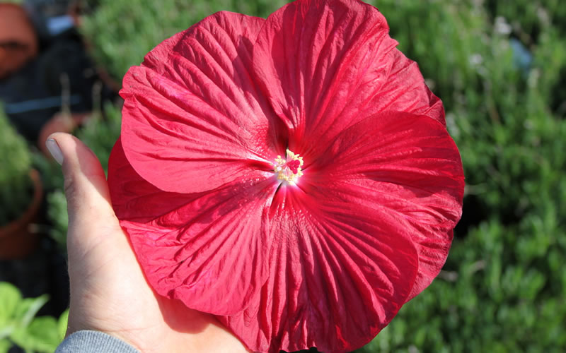 Buy Luna Red Hibiscus For Sale Online From Wilson Bros Gardens