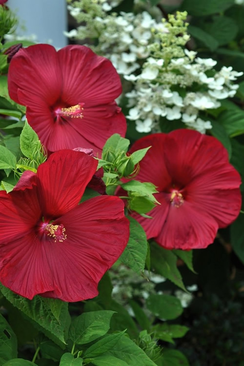 Buy Luna Red Hibiscus For Sale Online From Wilson Bros Gardens