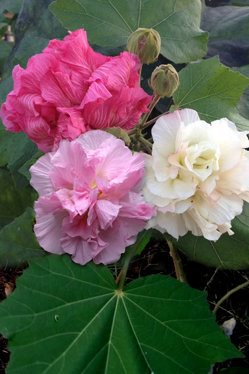 Buy Confederate Rose Hibiscus Mutabilis Plants Free Shipping For